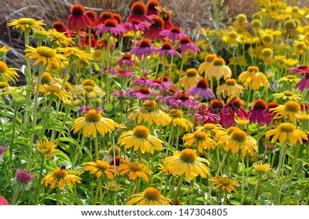 Colorful echinacea flowers in summer garden - stock photo