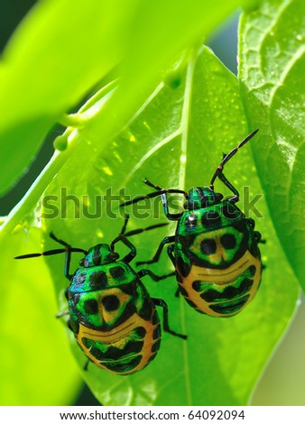 Colorful exotic beetles caught on the sauropus androgynus in the garden in the morning. - stock photo
