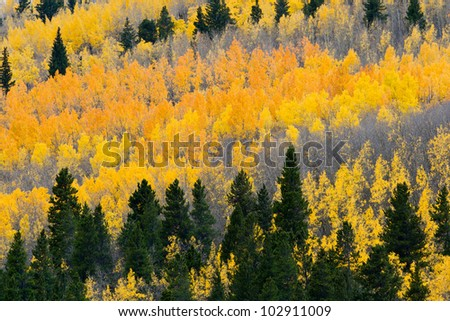 Colorful Fall aspen forest in the Colorado Rocky Mountains - stock photo