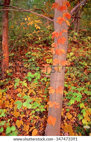 Colorful fall foliage in a deciduous forest in northern Illinois - stock photo
