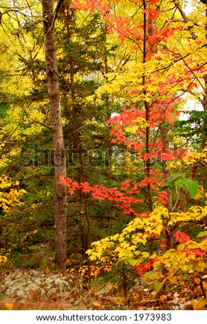 Colorful fall forest background with red maples leaves