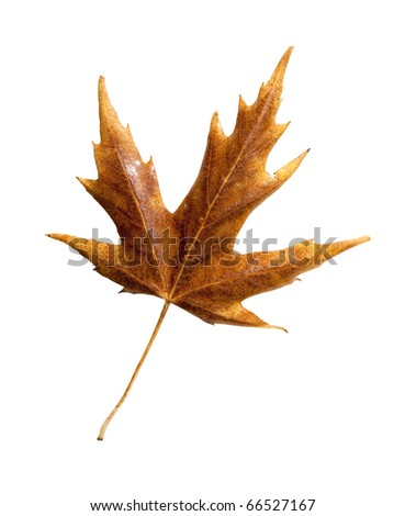 Colorful fall leaf with clipping path - stock photo