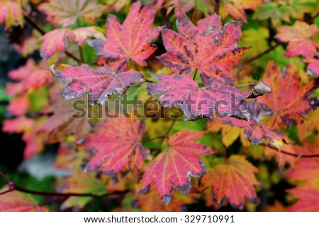 Colorful fall leaves in Vancouver British Columbia - stock photo