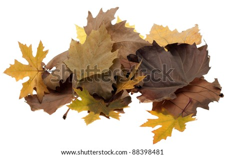 Colorful fall maple leaves isolated on white background - stock photo