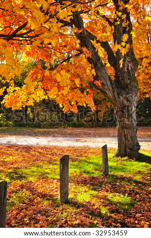 Colorful fall maple tree near rural road