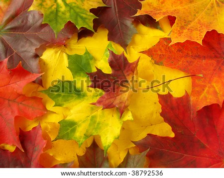 colorful fallen maple leaves collection