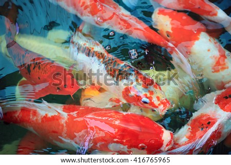 Colorful fancy carp fish, koi fish