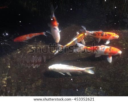 Koi fish stock photo 517138594 shutterstock for Koi carp colours