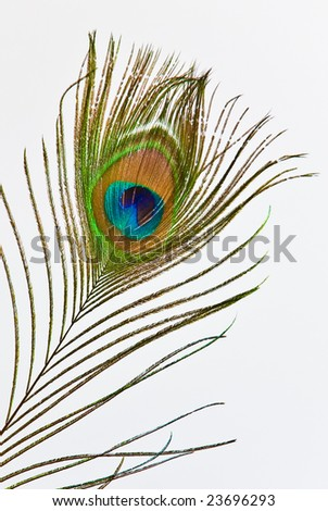 Colorful feather of peacock on white background