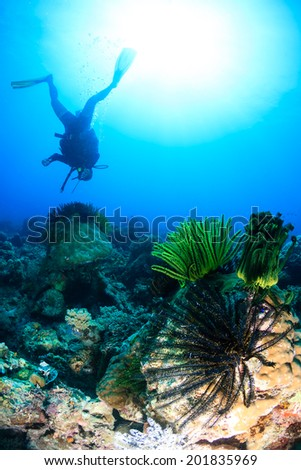 Colorful feather stars and a SCUBA diver on a tropical coral reef - stock photo