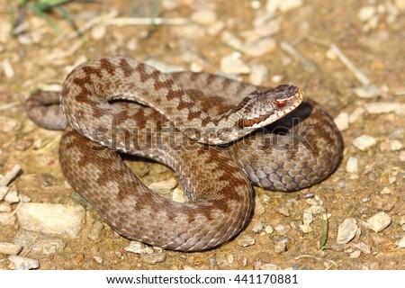 colorful female crossed viper on ground ( Vipera berus, the european common adder ) - stock photo
