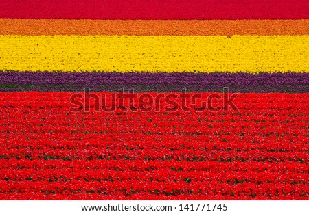 Colorful field of tulips, Netherlands - stock photo
