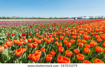 Colorful field with blooming tulips in different colors on the outskirts of a Dutch village.