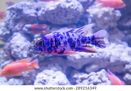 colorful fishes swimming in aquarium - stock photo