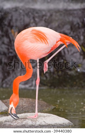 Colorful Flamingo in a pond - stock photo