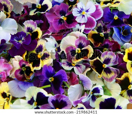 Colorful floral background from flower pansy.Flower Pansy - stock photo
