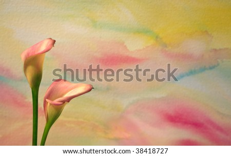 Colorful floral background with calla lilies - stock photo