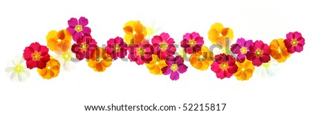 Colorful floral border made from backlit primulas - stock photo
