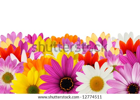 Colorful floral border made from spring daisies - stock photo