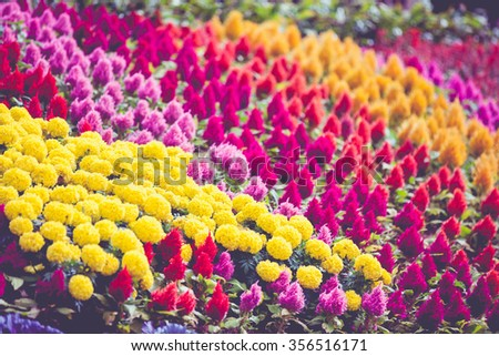 Colorful flower blooming in park, field of flowers. Flowers in a botanical garden, shallow depth of field (dof), selective focus. Marigold and celosia argentea or cockscomb, mix. Outdoors. - stock photo