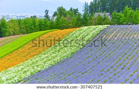 Colorful flower field in Hokkaido, Japan - stock photo