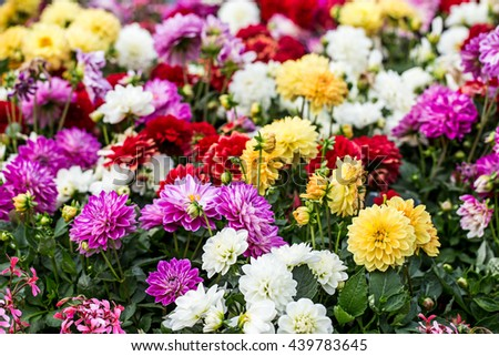 colorful flower in garden background