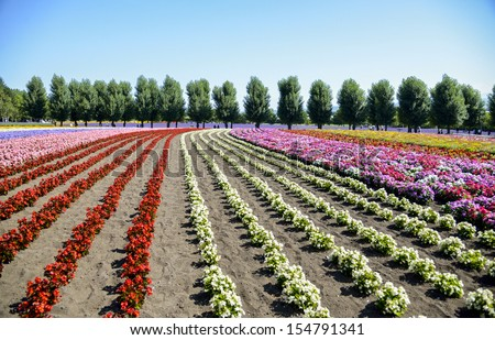 Colorful flower in the row - stock photo