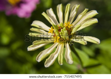 Colorful flower of the zinnia