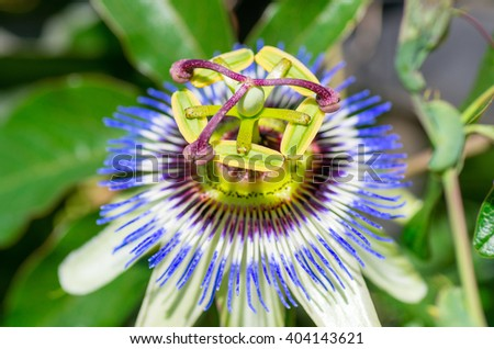 Colorful flower passion fruit. natural composition - stock photo