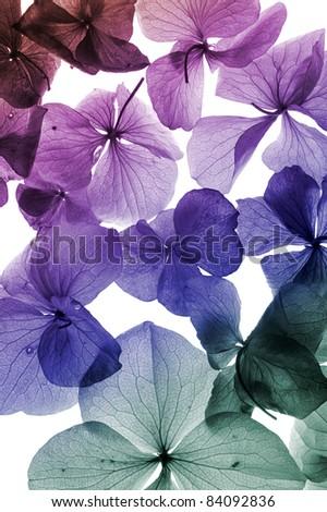 colorful flower petal closeup - stock photo