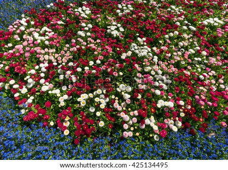 Colorful flowerbed in spring with white pink red daisies surrounded by little blue flowers  - stock photo