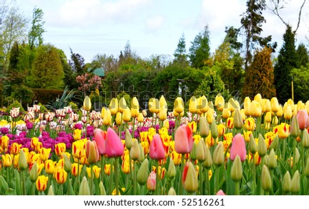 Colorful flowerbeds with tulips
