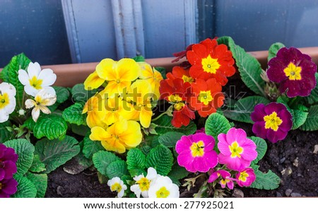 Colorful flowers in the pot - stock photo