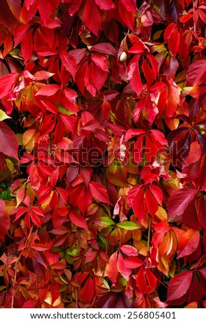 Colorful foliage on the fence - stock photo