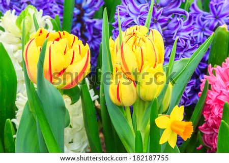 Colorful fresh spring flowers and yellow tulips - stock photo