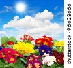 colorful fresh spring flowers primula on sunny blue sky background - stock photo
