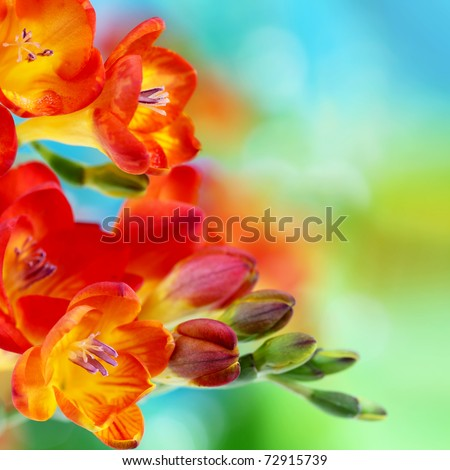 Colorful fresh spring freesia flowers on green and blue bokeh background. Very shallow DOF. - stock photo