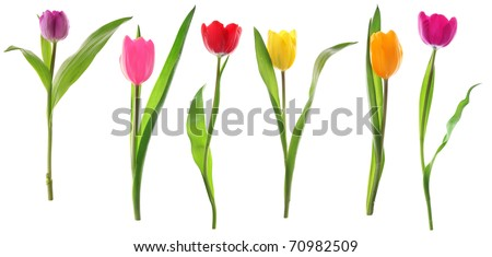 Colorful fresh spring tulips flowers in a row isolated on white background - stock photo