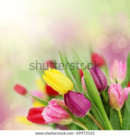 Colorful fresh spring tulips flowers with dew drops - stock photo