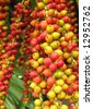 Colorful Fruits of the Christmas Palm -- this tree is also called Manila Palm or in Latin Adonidia Merrillii - stock photo