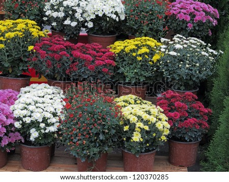 Colorful garden flowers in flowerpots at shop