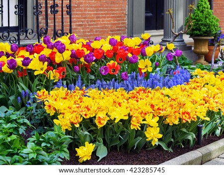 Colorful garden. Purple, red and yellow tulips with blue grape hyacinth
