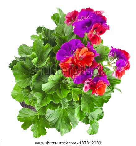 Colorful  geranium flower bunch isolated on white background - stock photo