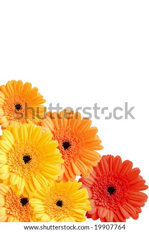 colorful gerber flowers background isolated - stock photo