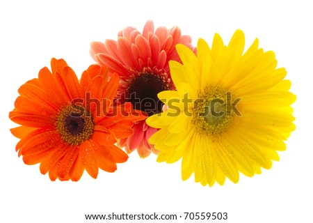 Colorful Gerber flowers in row isolated over white