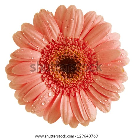 Colorful Gerbera flower head isolated on white background - stock photo