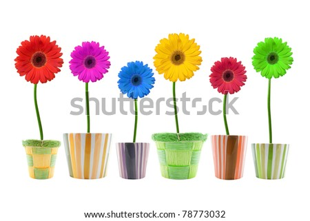 colorful gerbera flowers  isolated on white background.