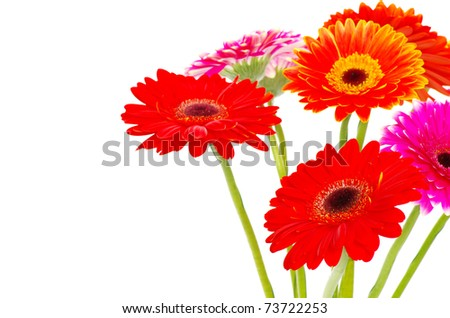 colorful gerberas - stock photo