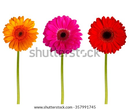 Colorful gerbers flowers isolated - stock photo