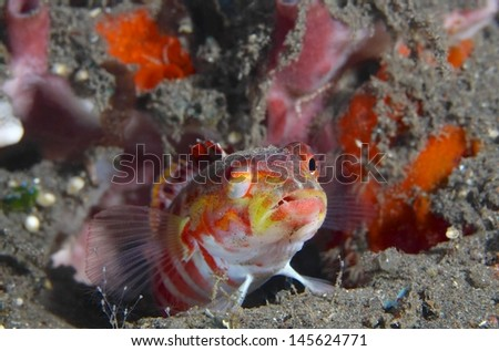 Colorful goby fish under water, Tulamben, Bali.